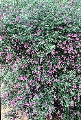 <i>Prostanthera ovalifolia</i>