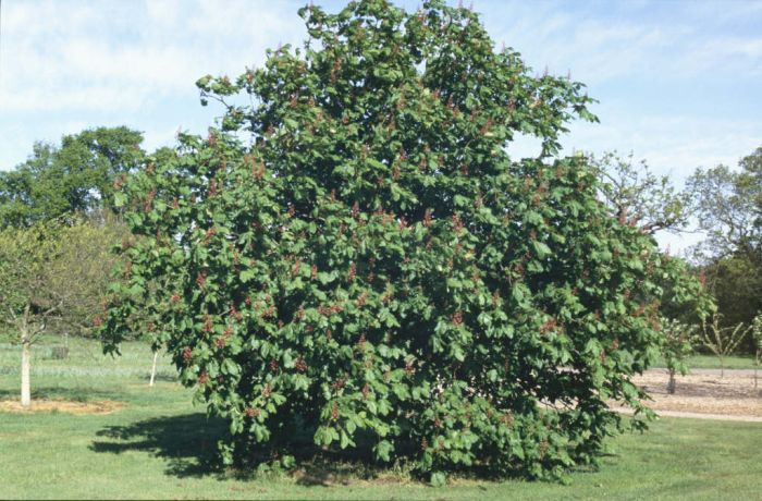 red horse chestnut 'Briotii'
