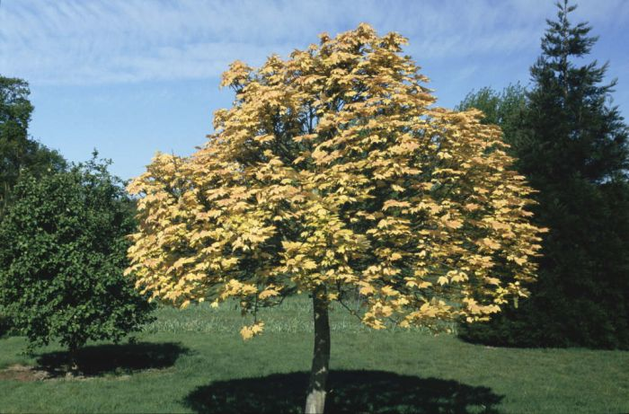 Acer pseudoplatanus 39 brilliantissimum 39 sycamore for Small garden trees rhs