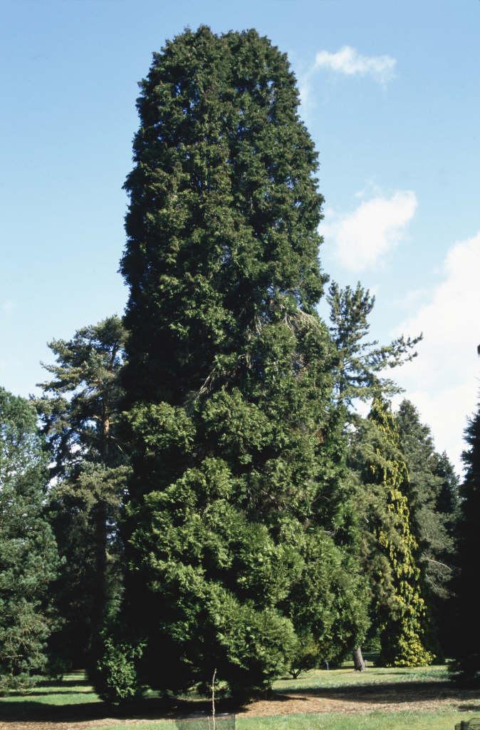 Lawson's cypress 'Erecta Viridis'
