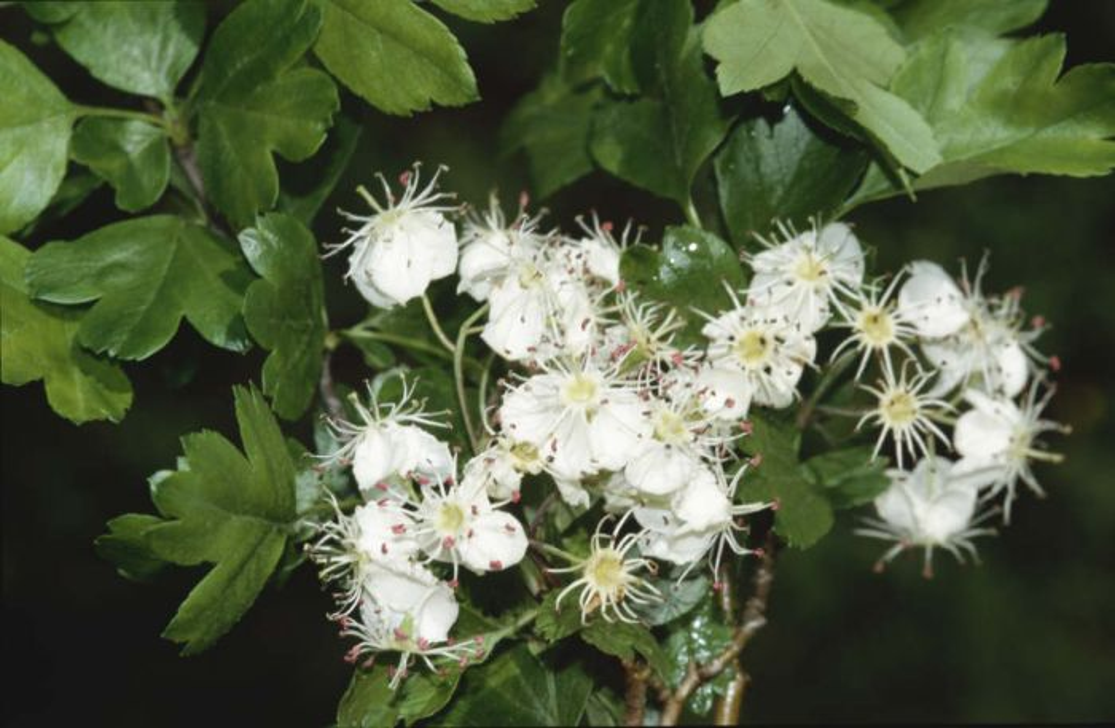 Midland hawthorn