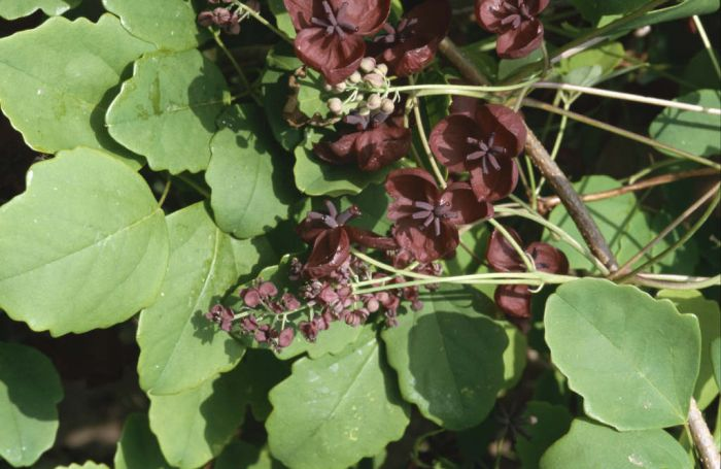 <i>Akebia trifoliata</i>