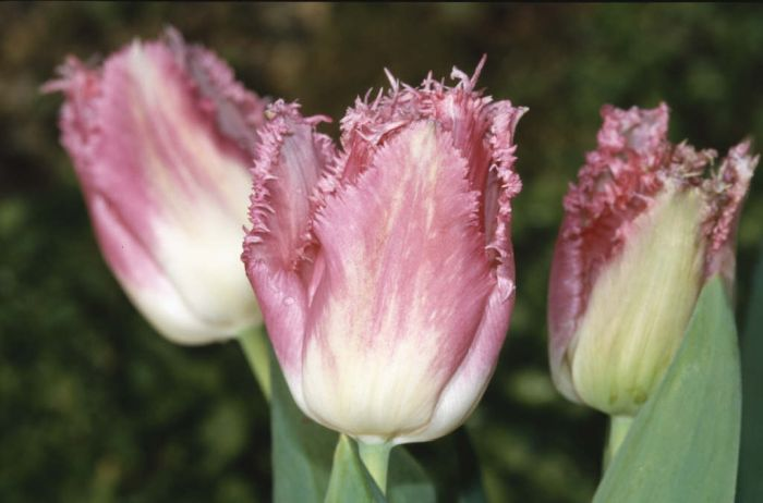 tulip 'Fancy Frills'