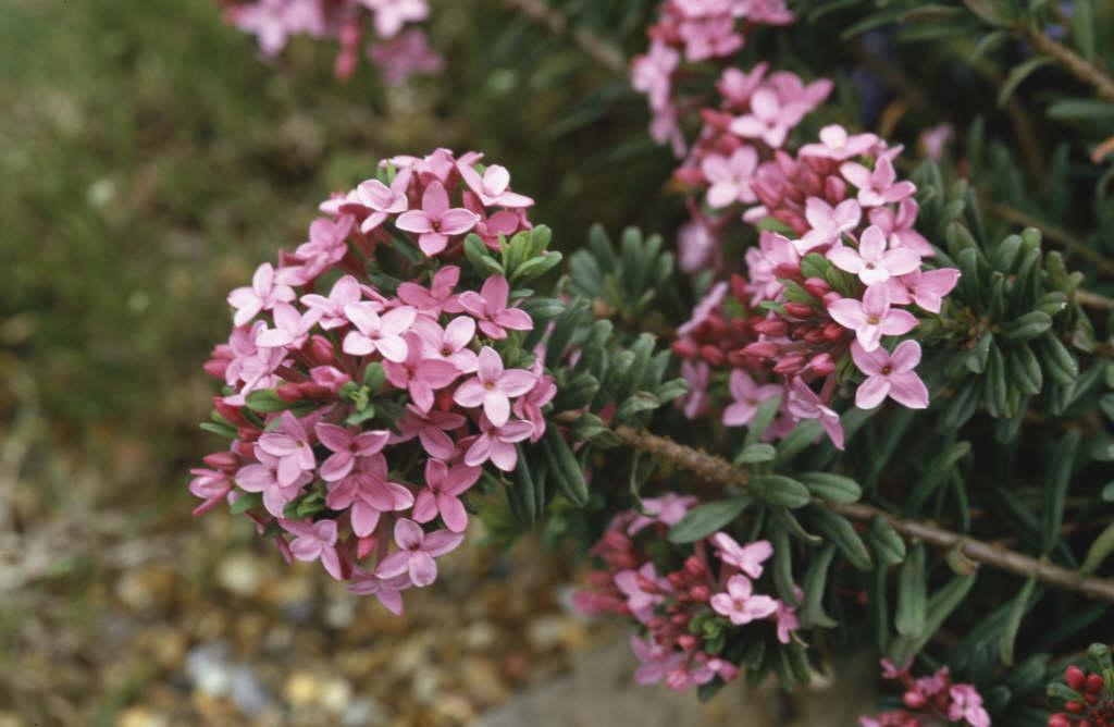 garland flower 'Eximia'