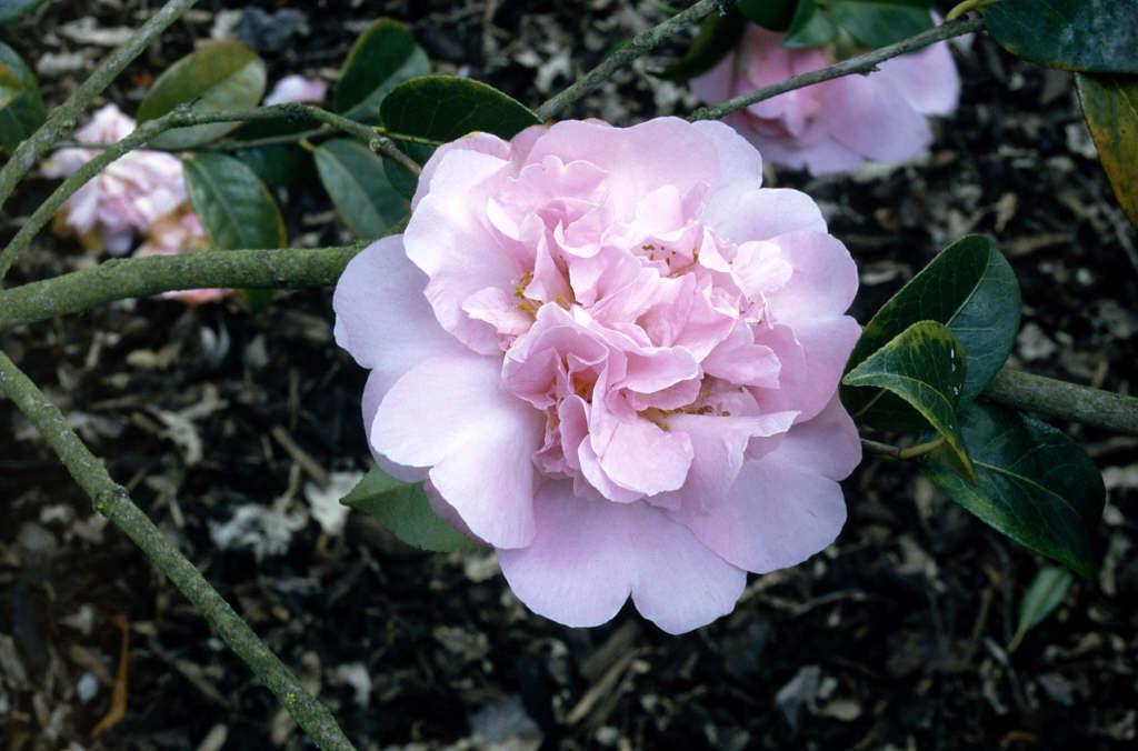 camellia 'Elsie Jury'