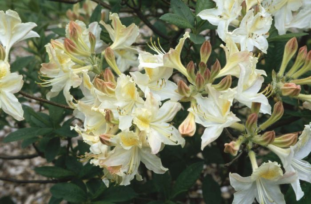 rhododendron 'Daviesii'