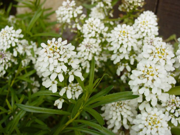 candytuft 'Snowflake'