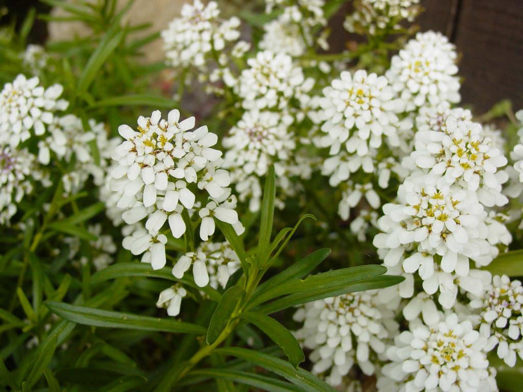 Iberis sempervirens 39 snowflake 39 candytuft 39 snowflake for Iberis sempervirens
