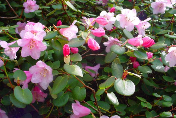 Williams rhododendron