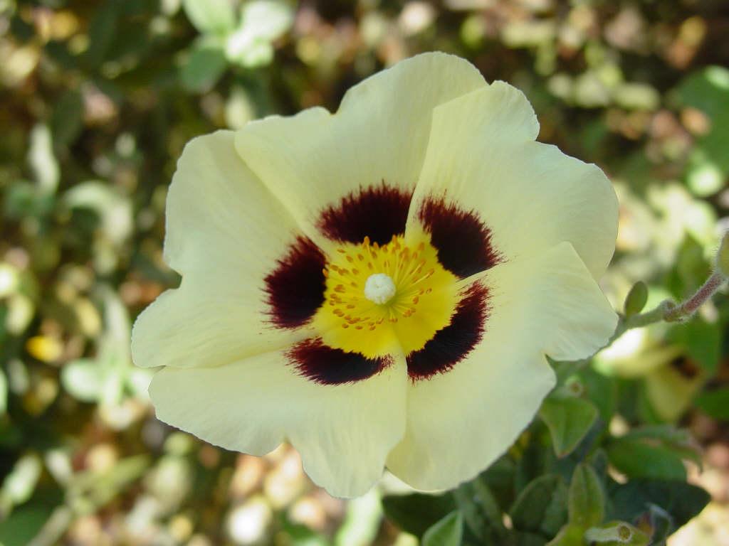 rock rose 'Merrist Wood Cream'