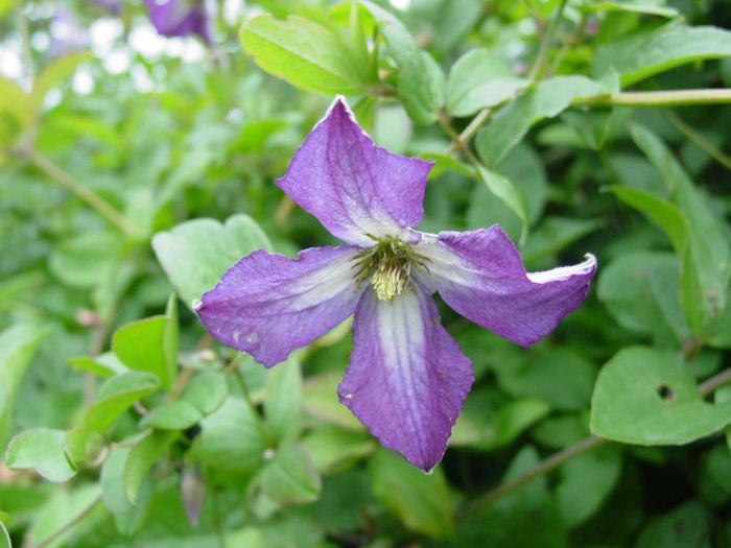 clematis viticella purple clematis rhs gardening. Black Bedroom Furniture Sets. Home Design Ideas