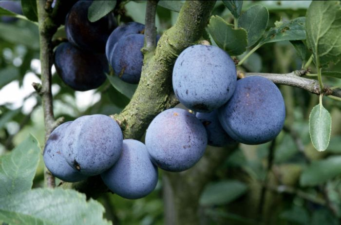 plum 'Blue Rock'
