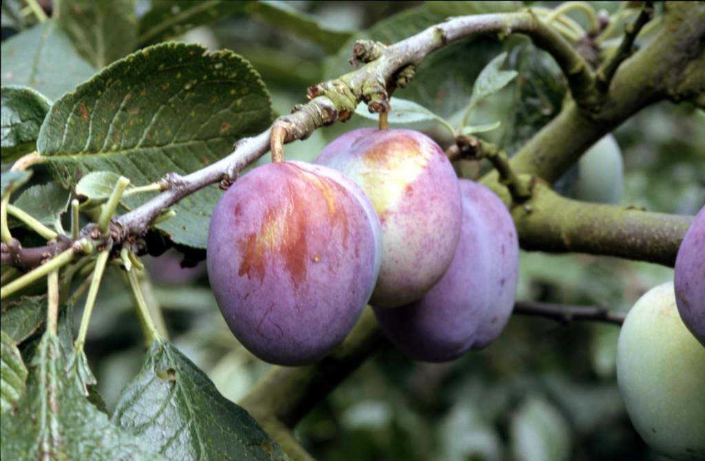 plum 'Mallard'