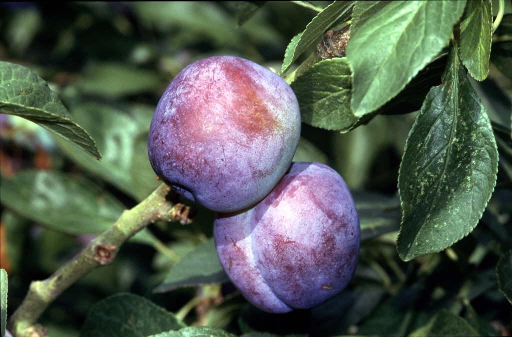 plum 'Blue Tit'