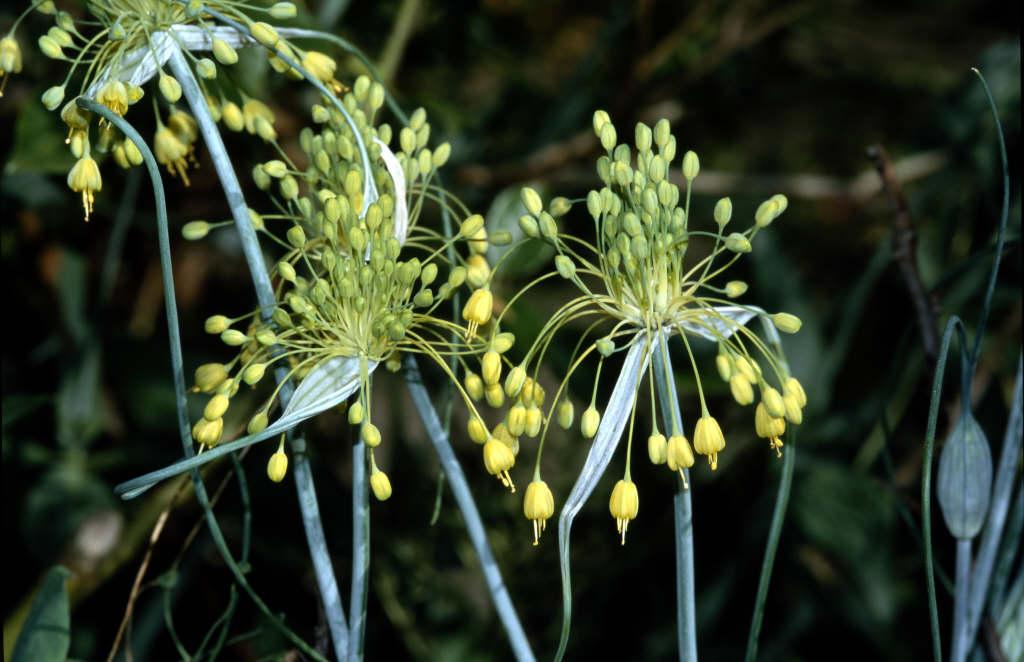 yellow-flowered garlic