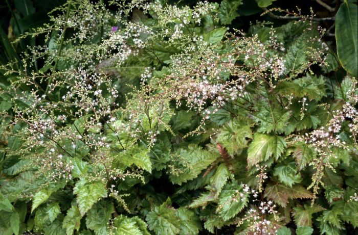 entire-leaved astilbe