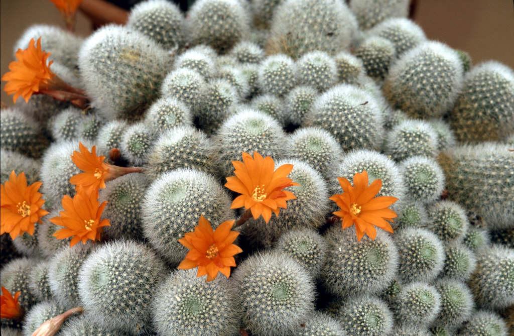 little mouse crown cactus