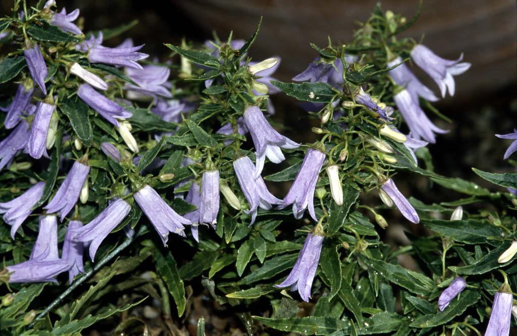 Tommasini bell flower