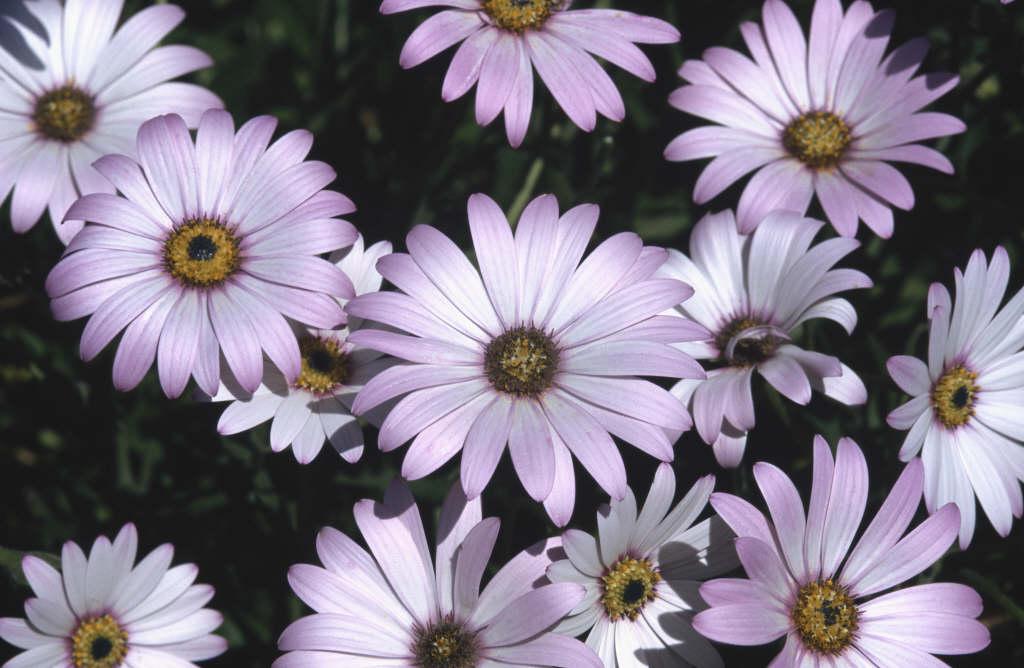 African daisy 'Lady Leitrim'