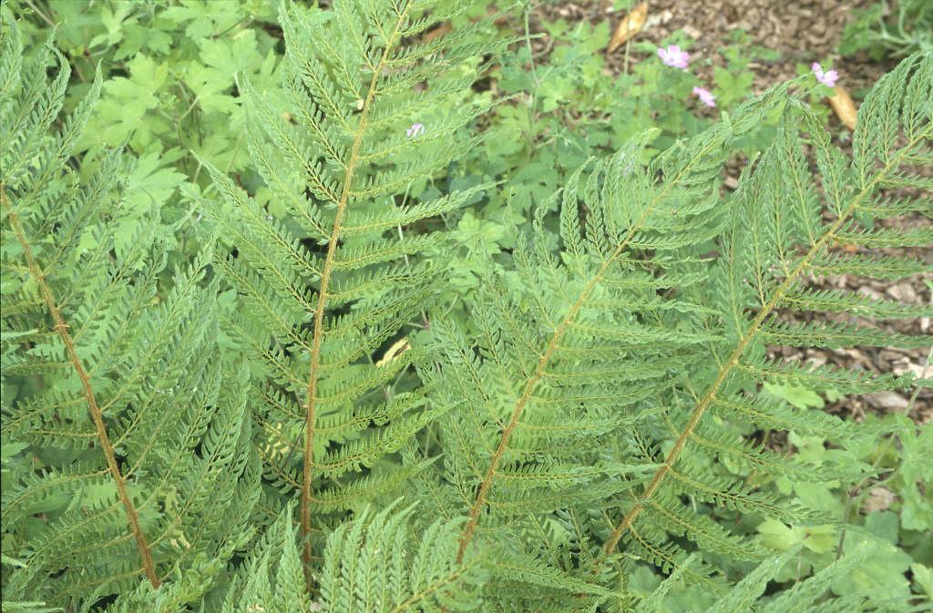 soft shield fern 'Pulcherrimum Bevis'
