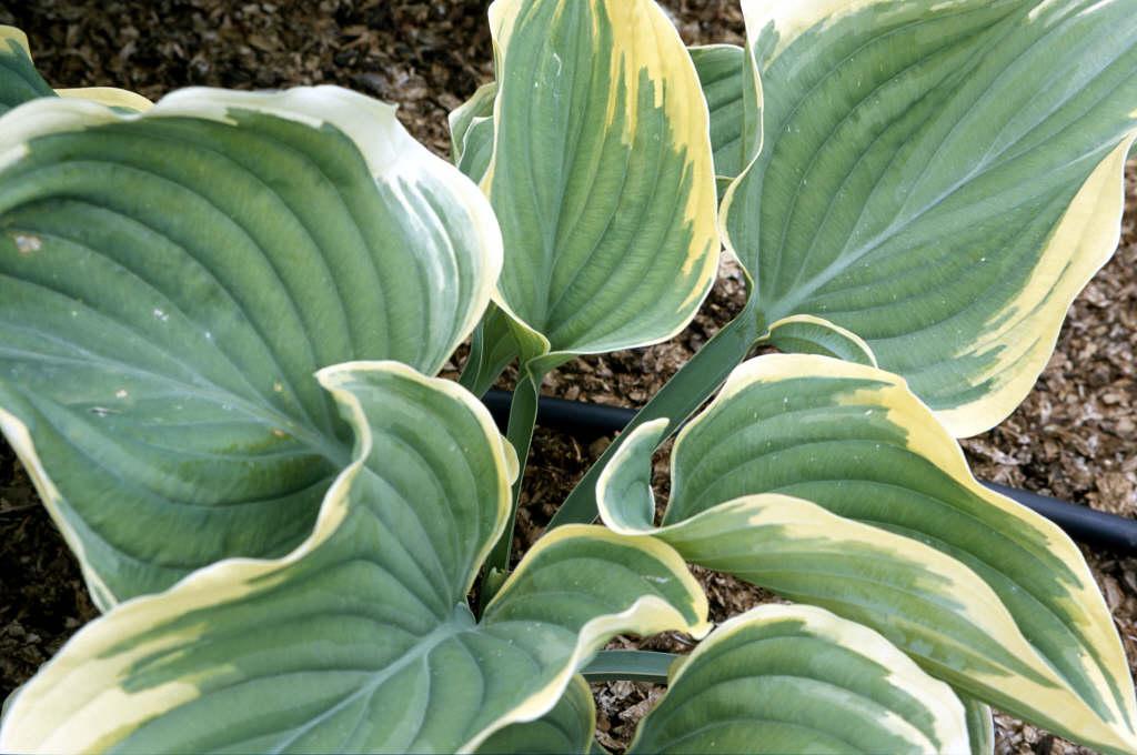 plantain lily 'Sagae'
