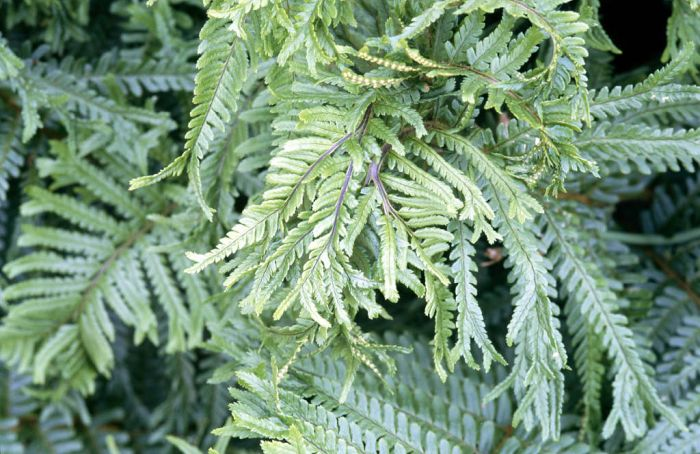 scaly male fern 'Cristata'