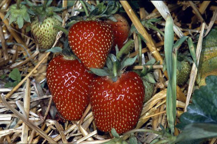 strawberry 'Symphony'