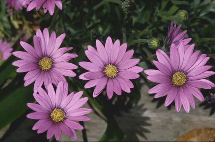 African daisy 'Blackthorn Seedling'