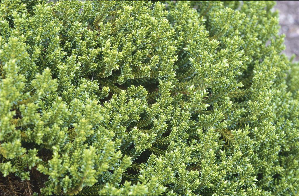 hebe 39 emerald gem 39 hebe 39 emerald gem 39 rhs gardening. Black Bedroom Furniture Sets. Home Design Ideas