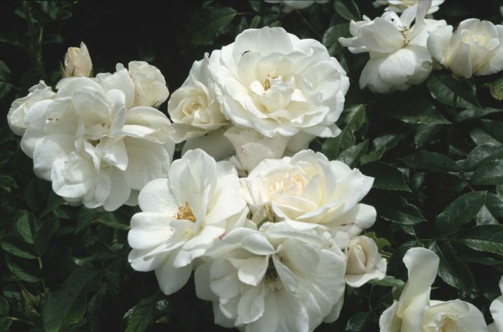 rose [Princess of Wales]