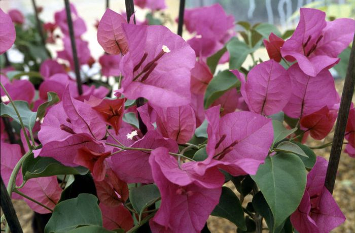 bougainvillea 'Mrs Butt'