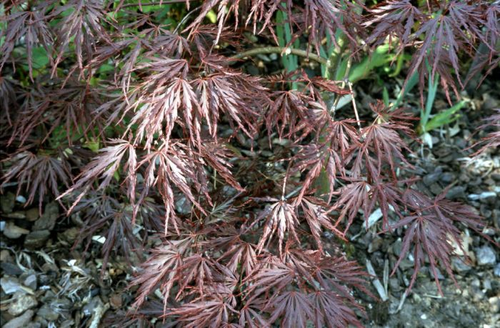 Japanese maple 'Crimson Queen'