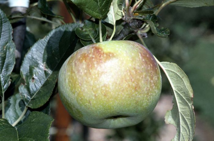 apple 'Peasgood's Nonsuch'