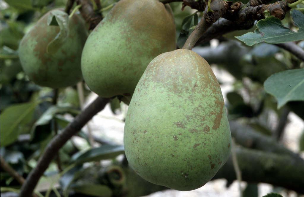 pear 'Pitmaston Duchess'
