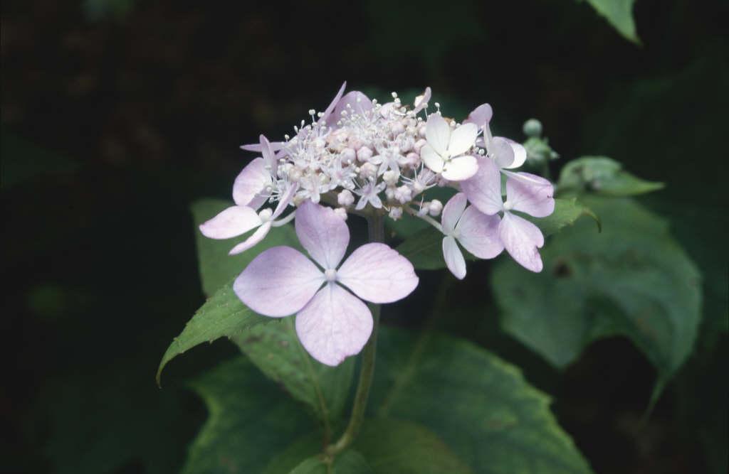 hydrangea 'Diadem'