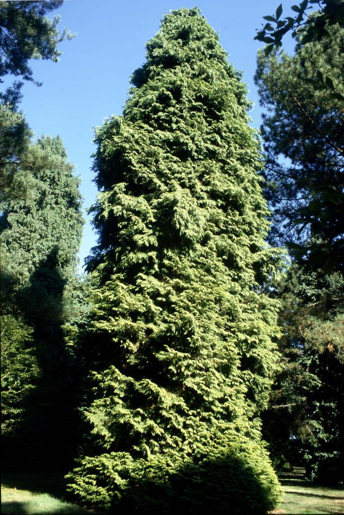 Lawson's cypress 'Lanei Aurea'