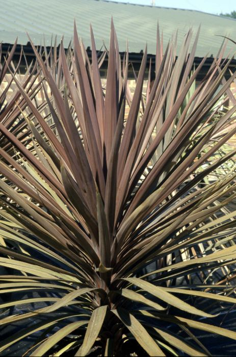 cabbage palm 'Torbay Red'