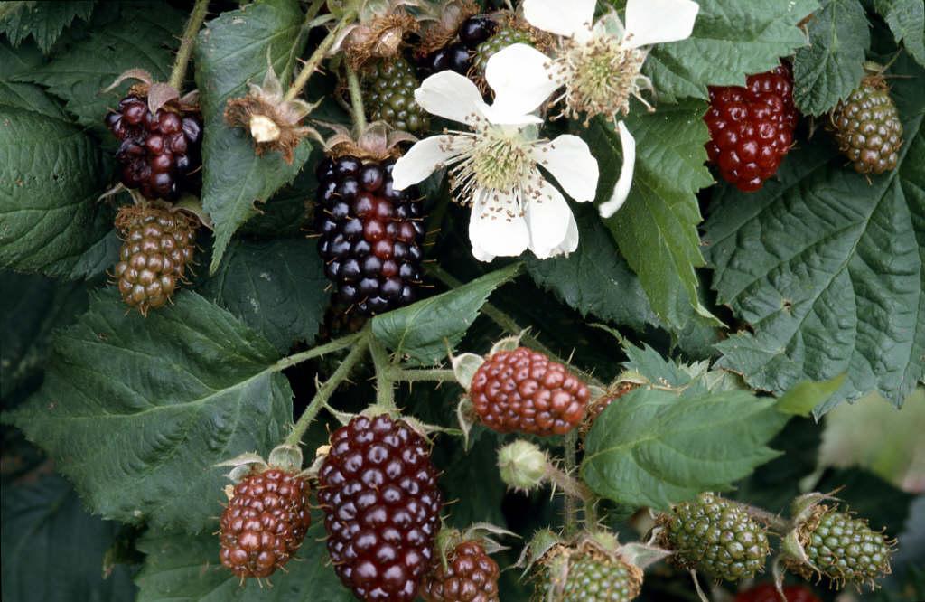 silvanberry