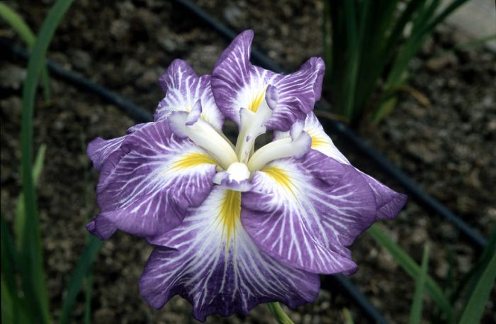 Japanese water iris 'Hue and Cry'