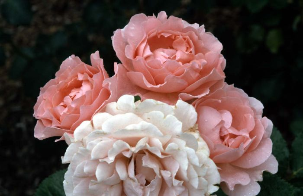 rose [L'Aimant]