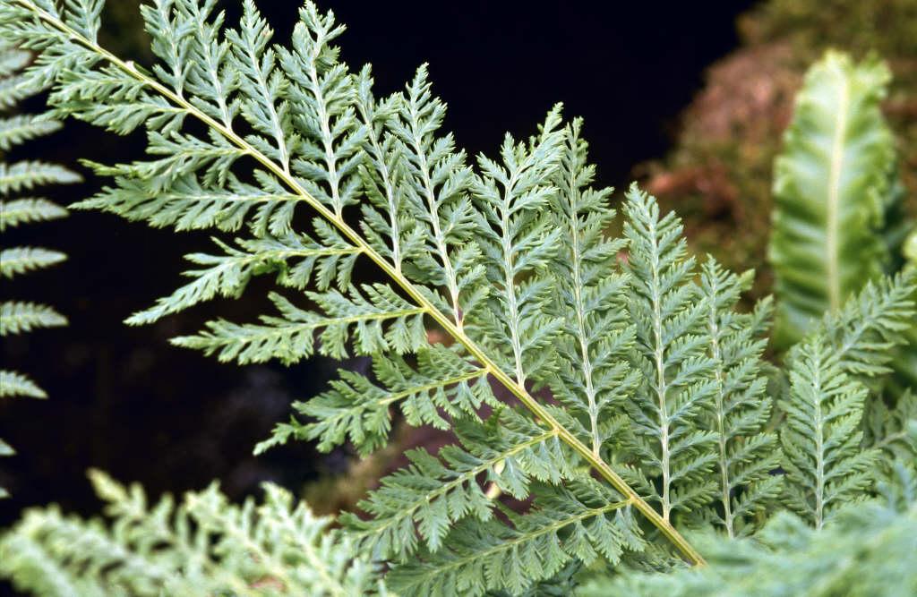 lady fern 'Vernoniae'
