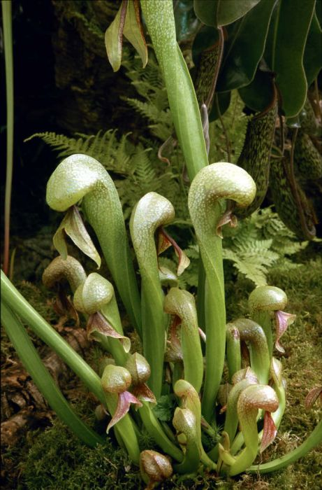 Californian pitcher plant