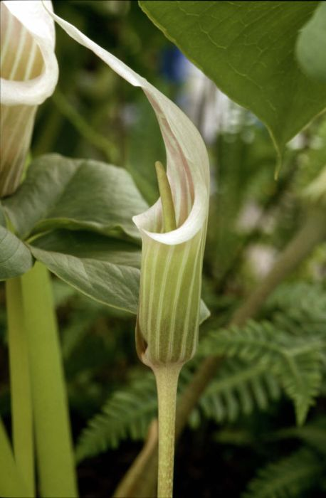 white-spathed jack in the pulpit
