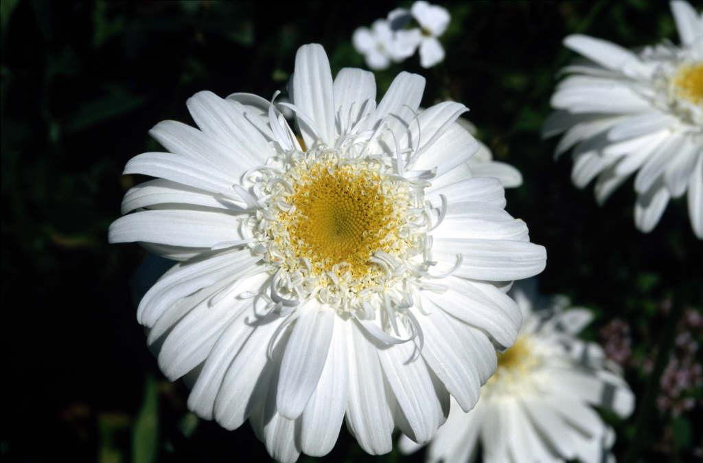 Shasta daisy 'T.E. Killin'
