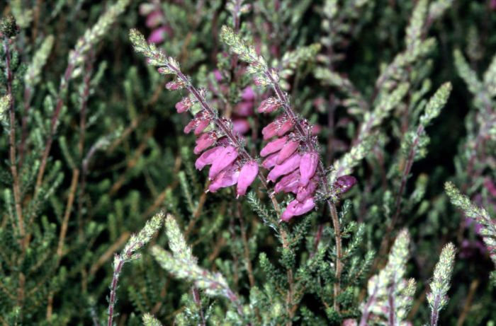 Dorset heath 'Mrs C.H. Gill'
