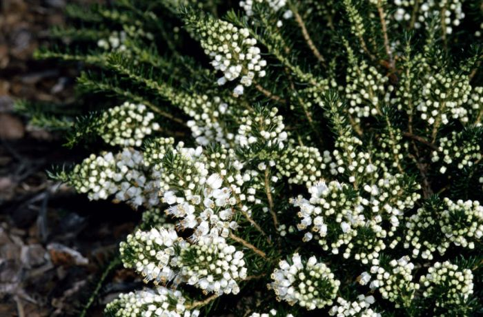 Cornish heath 'Kevernensis Alba'