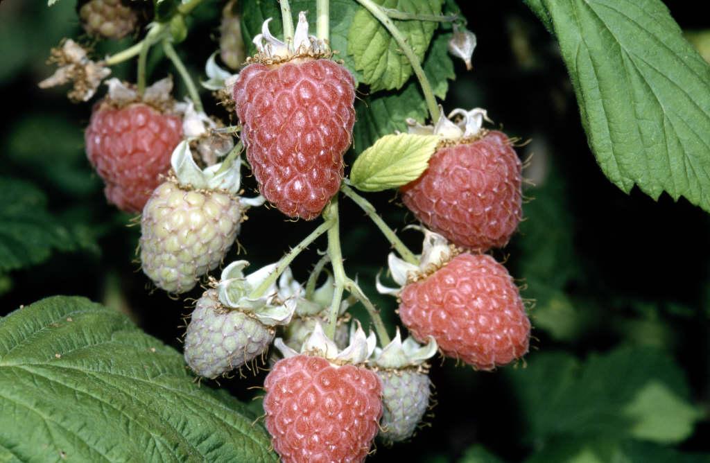 raspberry 'Glen Prosen'