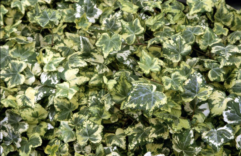 ivy 'Golden Ingot'