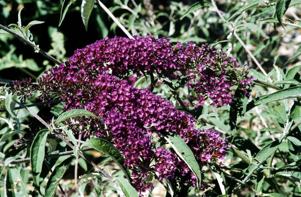 butterfly bush [Nanho Purple]