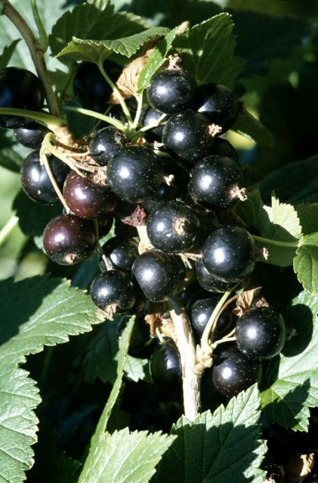 blackcurrant 'Ben Connan'